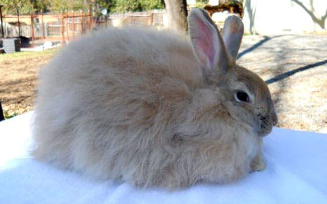 razza coniglio d'angora