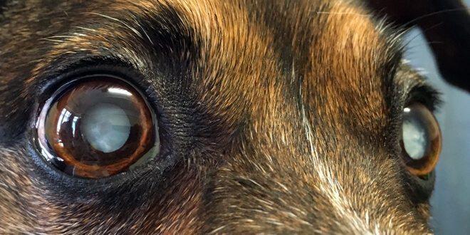 costo operazione cataratta cane