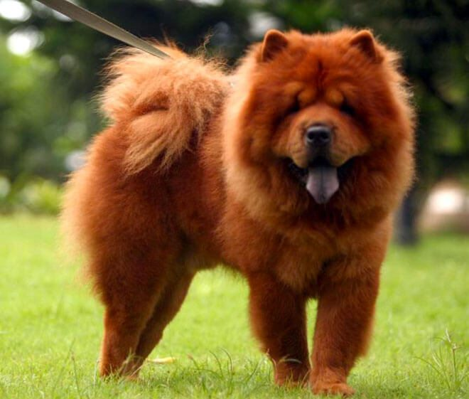 chow chow carattere