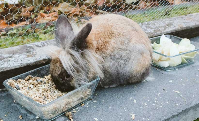 cibo per coniglio nano