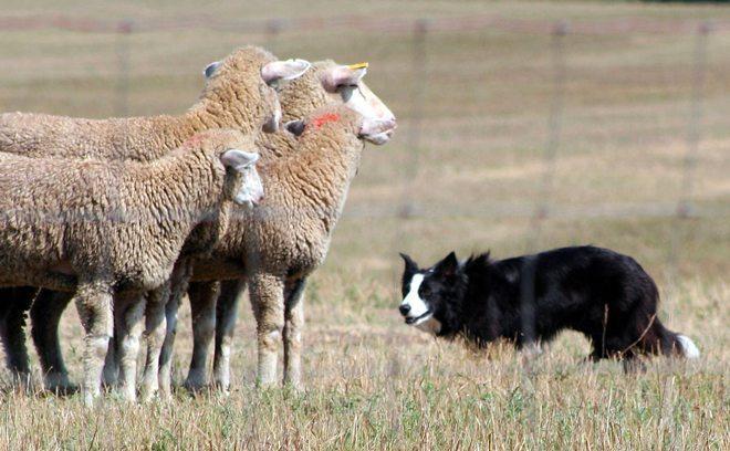 comandi sheepdog