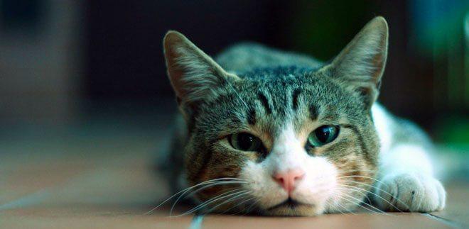 come eliminare le pulci del gatto
