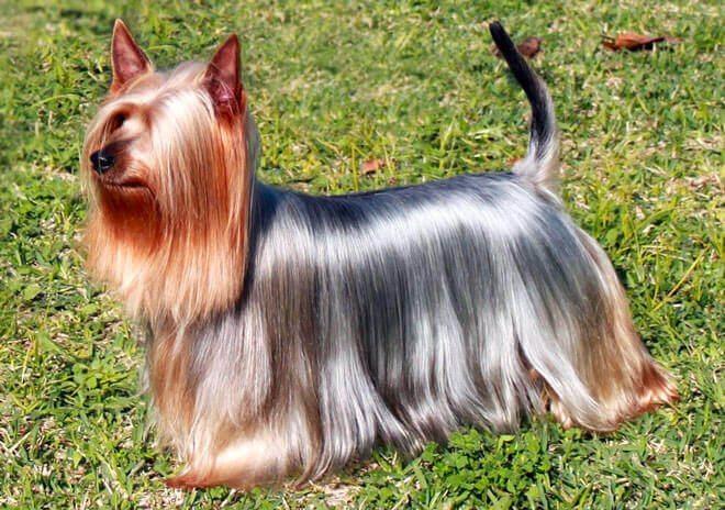 come lucidare il pelo del cane