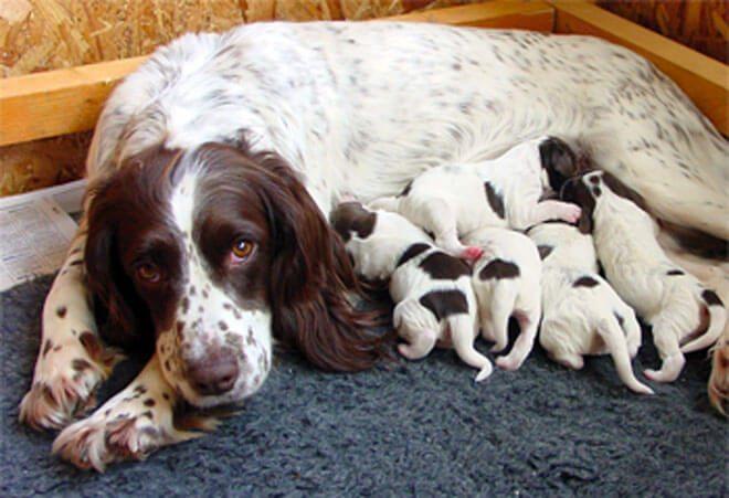 Come partorisce un cane