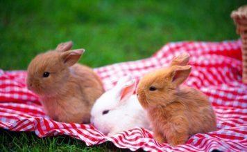 comportamento coniglio