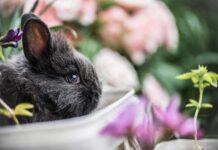 perché i conigli digrignano i denti