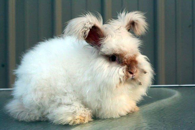 coniglio d'angora inglese