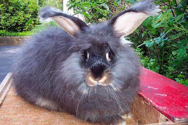 coniglio angora gigante