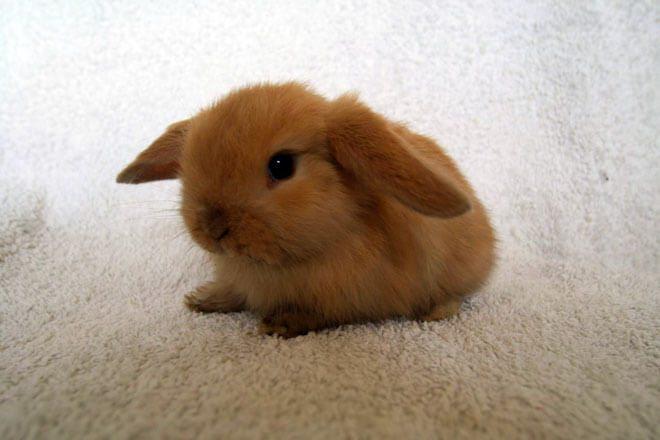 allevamento coniglio ariete