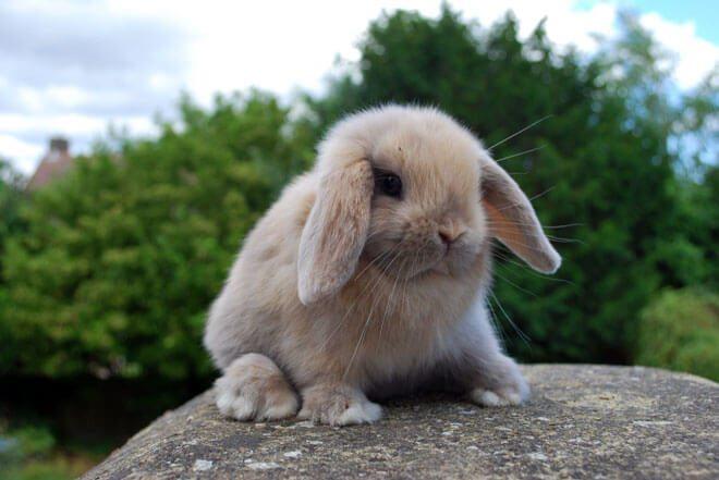 coniglio ariete carattere