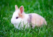 coniglio maschio o femmina?