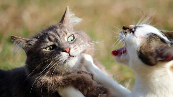 gatti che litigano in casa