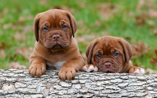 cuccioli mastiff