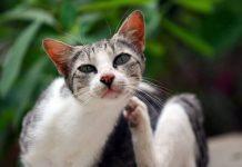 dermatite gatto