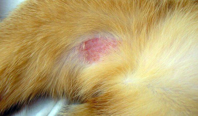 dermatite gatto cura