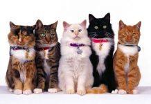 specie di gatti