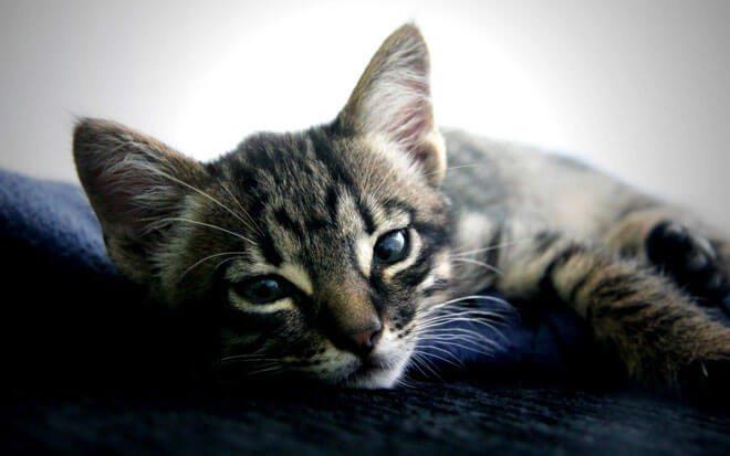 enterite gatto