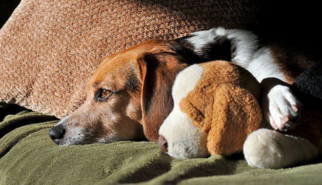 sintomi gravidanza isterica cane