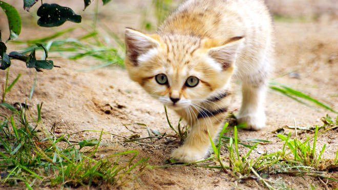 gatti delle sabbie