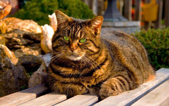 gatti grassi