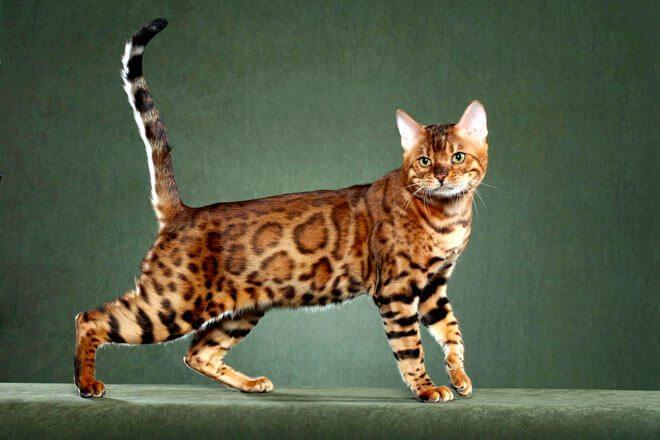 Gatto Bengala Carattere E Informazioni Sul Gatto Leopardato Bepuppy