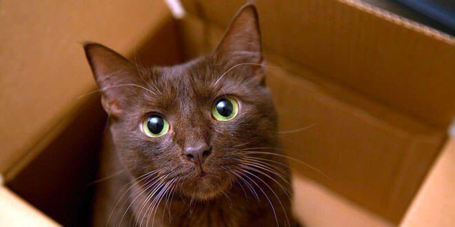 gatto havana brown carattere
