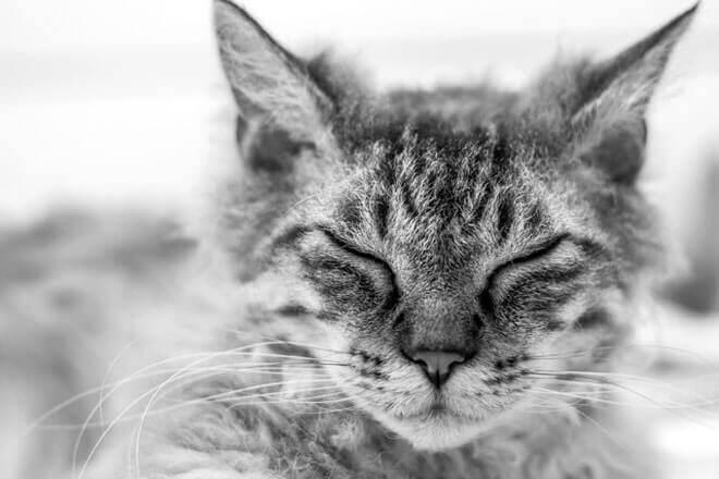 gatto laperm allevamento