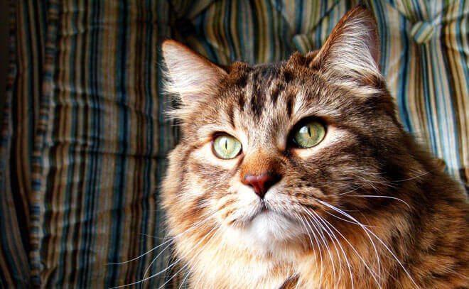 gatto norvegese carattere