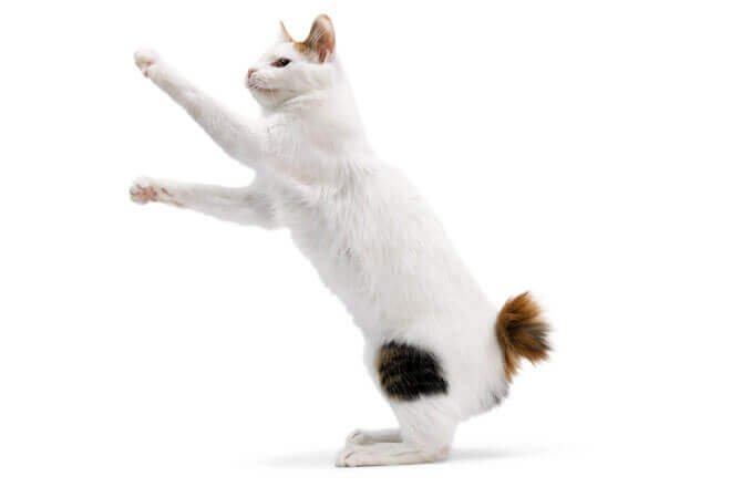 gatto portafortuna giapponese
