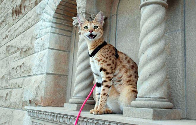 gatto razza savannah