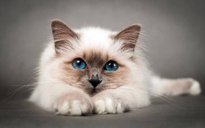 gatto sacro di birmania carattere