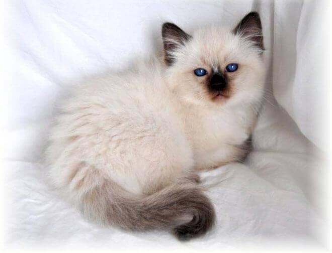gatto siamese pelo lungo