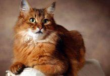 gatto somalo carattere