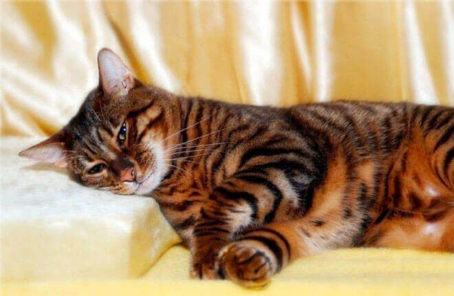 gatto toyger carattere
