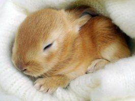 i conigli dormono