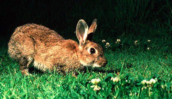 i conigli vedono al buio