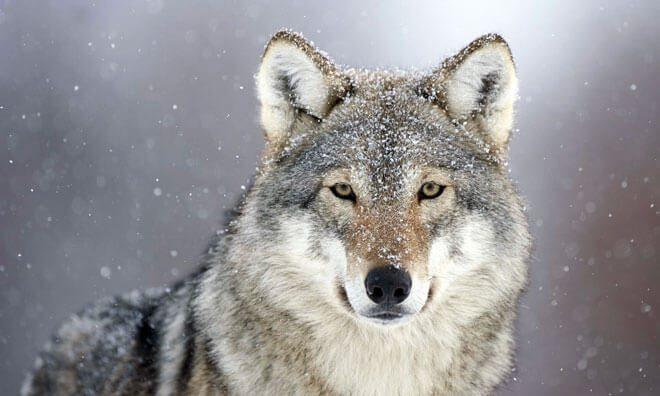 cani e lupi