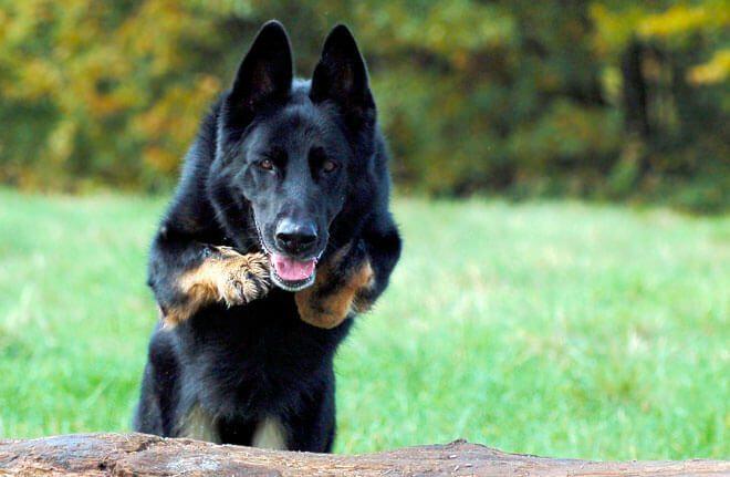 Insegnare al cane a fare la guardia