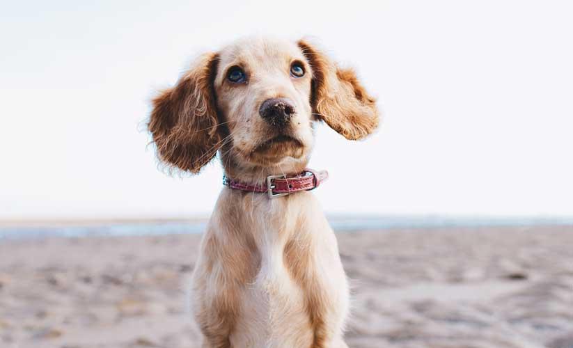 insegnare al cane comando resta