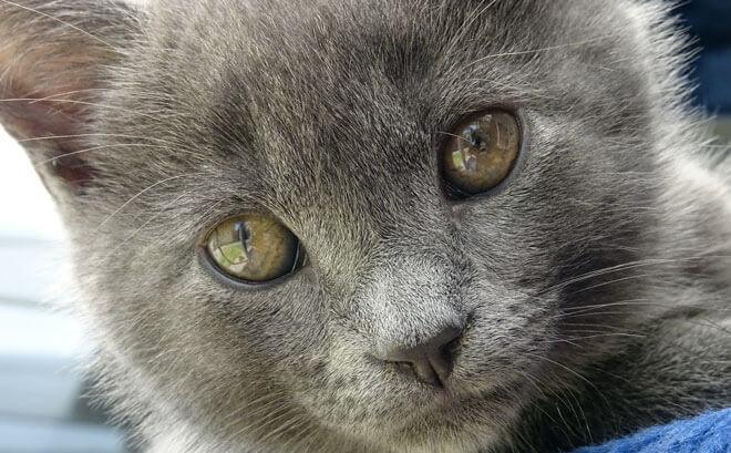 leucemia dei gatti