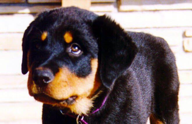 leucemia del cane
