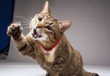 malattia da graffio di gatto