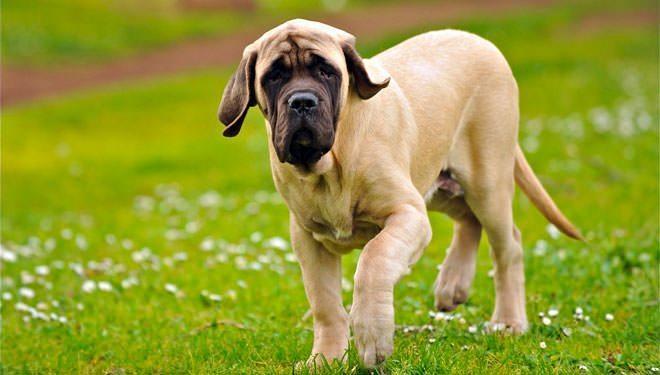 mastiff inglese