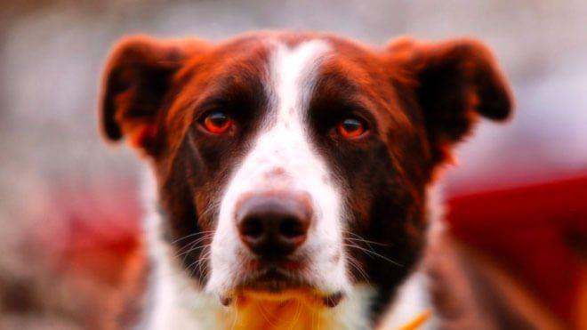 occhi arrossati nel cane