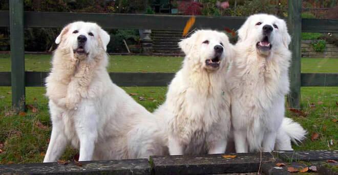 cane da pastore abruzzese