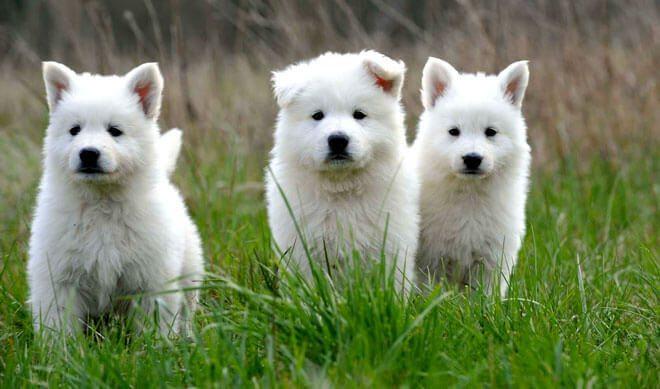pastore svizzero cuccioli