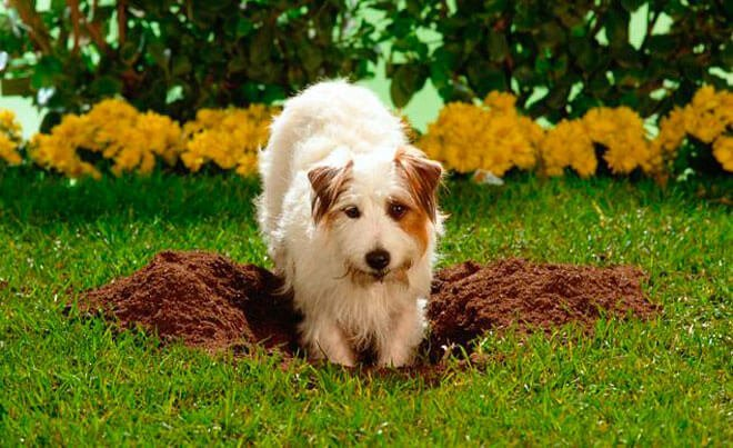 Why do dogs dig what to do if your dog digs holes in your garden - Gardening for pets ...