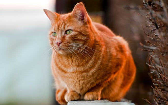 peso gatto ideale