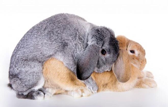 riproduzione conigli