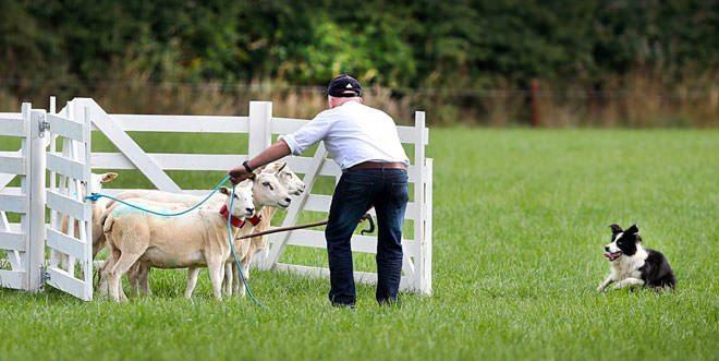 origini sheepdog